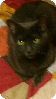 Russian Blue Cat for adoption in East Meadow, New York - Bebe