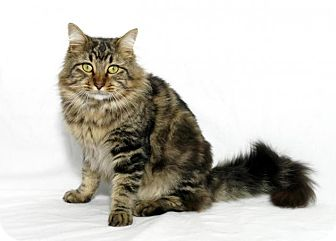 Maine Coon Cat for adoption in Lufkin, Texas - Simba