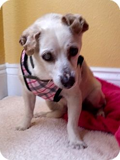 Chihuahua Dog for adoption in Ft Myers Beach, Florida - Baby Doll!!
