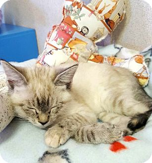Siamese Cat for adoption in Arcadia, California - Fox