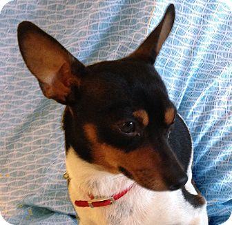 Rat Terrier Mix Dog for adoption in San Francisco, California - Jaeger