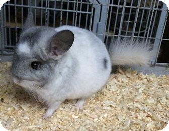 Chinchilla for adoption in Hammond, Indiana - 11 wk white mosaic chinchilla