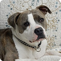 American Bulldog Mix Dog for adoption in Long Beach, New York - Little Lucy