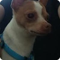 Adopt A Pet :: Poquito (Poqi) - Brick, NJ