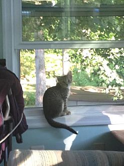 Domestic Shorthair Kitten for adoption in Dale City, Virginia - Marley