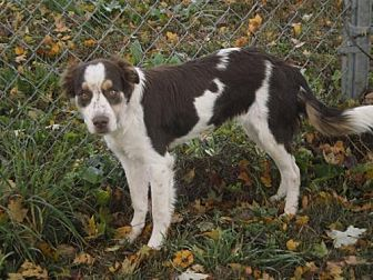 Brittany/Border Collie Mix Dog for adoption in Walton, Kentucky - TN/Addy