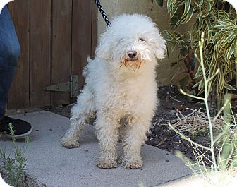 Bichon Frise/Poodle (Miniature) Mix Dog for adoption in Los Angeles, California - Pierre