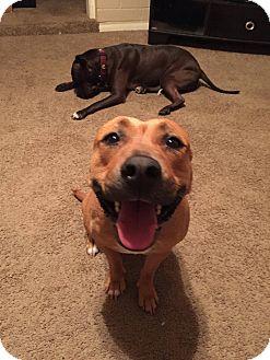 Cattle Dog/Labrador Retriever Mix Dog for adoption in Gilbert, Arizona - Pocahontas