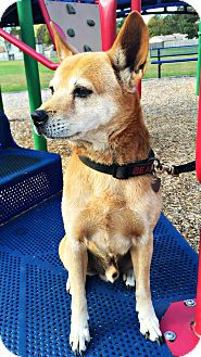 Shiba Inu/Chow Chow Mix Dog for adoption in Virginia Beach, Virginia - Skeebus