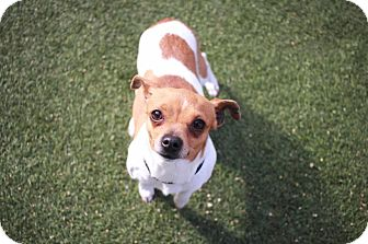 Rat Terrier/Terrier (Unknown Type, Small) Mix Dog for adoption in Redwood City, California - Bonita