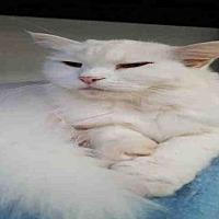 Domestic Mediumhair Cat for adoption in Fort Walton Beach, Florida - GYPSY
