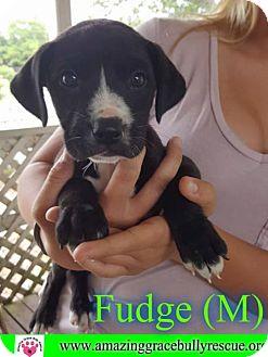 Boxer/Labrador Retriever Mix Puppy for adoption in Pensacola, Florida - Fudge