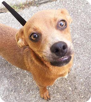 Chihuahua Mix Dog for adoption in Waggaman, Louisiana - Romeo