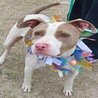 American Staffordshire Terrier Mix Dog for adoption in San Antonio, Texas - VESPER