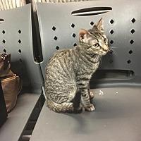 Adopt A Pet :: Stripes - Winchester, CA