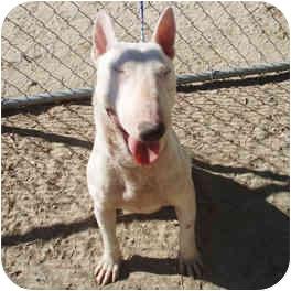 Bull Terrier Dog for adoption in Los Angeles, California - Nina