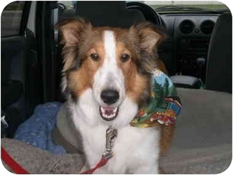 Collie/Sheltie, Shetland Sheepdog Mix Puppy for adoption in Trabuco Canyon, California - Rocco