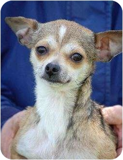 Chihuahua Dog for adoption in Mora, Minnesota - Snickers