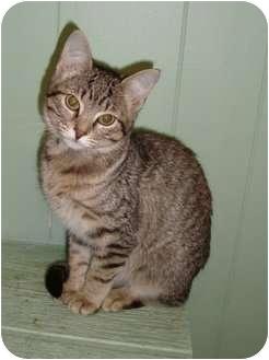 Domestic Shorthair Kitten for adoption in Arkadelphia, Arkansas - Abbee