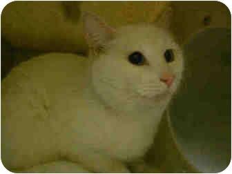 Domestic Shorthair Cat for adoption in Yuba City, California - Snowball