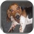 Basset Hound Dog for adoption in Marietta, Georgia - Jazzie