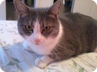 Domestic Shorthair Cat for adoption in Winston-Salem, North Carolina - Twinkle
