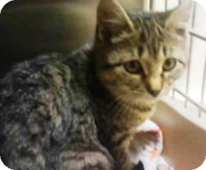 Domestic Shorthair Kitten for adoption in Worcester, Massachusetts - (kitten) Amelia