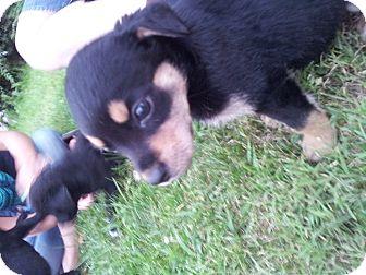Rottweiler/Labrador Retriever Mix Puppy for adoption in Mechanicsburg, Pennsylvania - Rachel