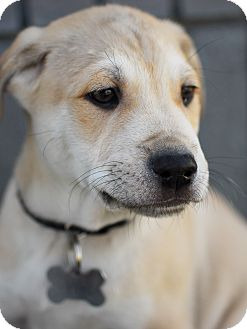 Shepherd (Unknown Type)/Terrier (Unknown Type, Medium) Mix Puppy for adoption in Detroit, Michigan - Collin-Adopted!