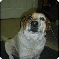 Beagle Dog for adoption in Longs, South Carolina - Freckles