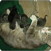 Adopt A Pet :: 6 NEWBORNS & Mama Sarah - Washington Terrace, UT