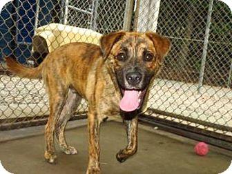 Shepherd (Unknown Type) Mix Dog for adoption in Brooklyn, New York - Rafiki