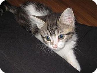 Domestic Shorthair Kitten for adoption in Rocklin, California - Zatarain