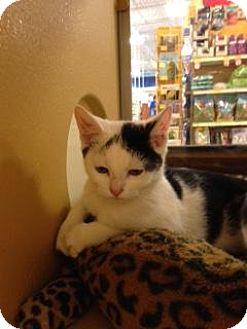 Domestic Shorthair Kitten for adoption in Scottsdale, Arizona - JILL- PetsMart Kitty