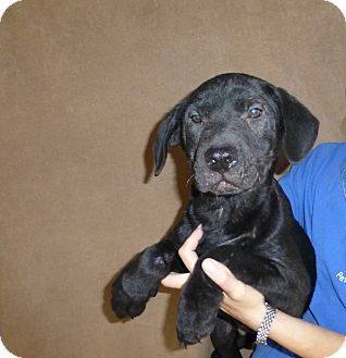 Great Dane/Labrador Retriever Mix Puppy for adoption in Oviedo, Florida - Tucker