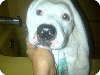 Pit Bull Terrier/Beagle Mix Dog for adoption in Kimberton, Pennsylvania - Faith