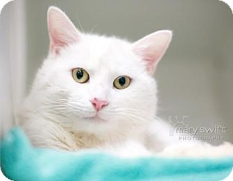 Domestic Shorthair Cat for adoption in Reisterstown, Maryland - Monty