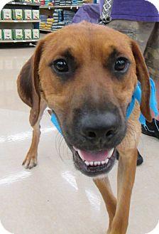 Hound (Unknown Type)/Boxer Mix Dog for adoption in Manhattan, Kansas - Danny Boy