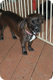 Dachshund Mix Dog for adoption in Oakland, Arkansas - Sweetpea