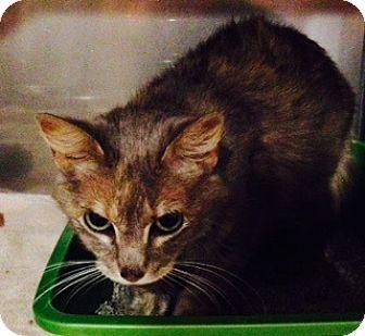 Domestic Shorthair Cat for adoption in Oak Park, Illinois - Sandy