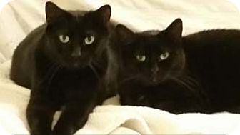 Domestic Shorthair Cat for adoption in Merrifield, Virginia - Lady