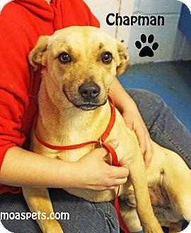 Labrador Retriever/Shepherd (Unknown Type) Mix Dog for adoption in Danielsville, Georgia - Chapman