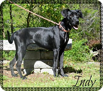 Labrador Retriever/Great Dane Mix Puppy for adoption in Chester, Connecticut - Indy