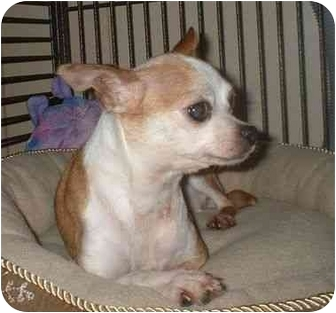 Chihuahua Dog for adoption in Manahawkin, New Jersey - Abigail