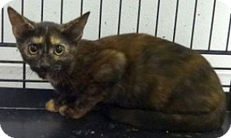 Domestic Shorthair Kitten for adoption in Olive Branch, Mississippi -