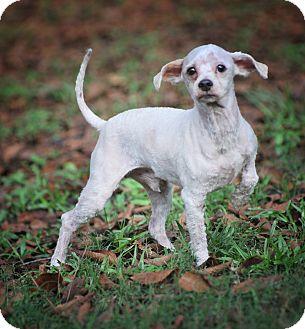 Poodle (Miniature) Mix Dog for adoption in Wellesley, Massachusetts - Jenkins