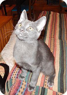 Russian Blue Kitten for adoption in Plano, Texas - KAHUNA - SWEETEST LAP KITTY!