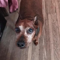 Miniature Pinscher Mix Dog for adoption in Whitestone, New York - Lolla (2 of 2)