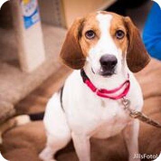 Treeing Walker Coonhound Mix Dog for adoption in Richmond, Virginia - Jambalaya