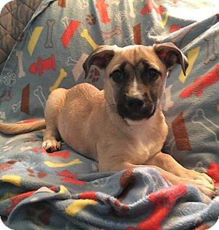 German Shepherd Dog Mix Puppy for adoption in New Oxford, Pennsylvania - Becker